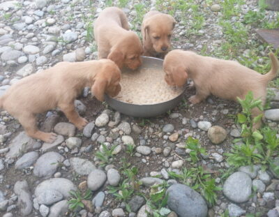 Cuccioli-Basset-Fauve