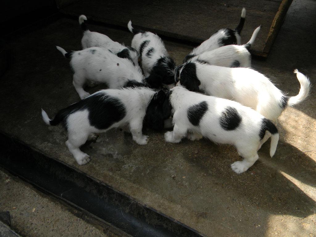 cuccioli-petit-basset-griffon-vendeen-dellall